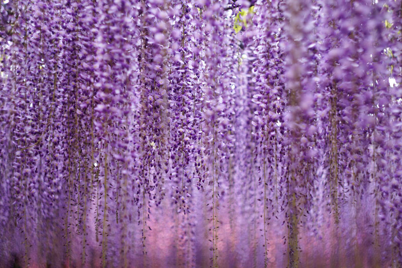 giant wisteria ashikaga flower park japan 6 The 100+ Year Old Wisteria at Japans Ashikaga Flower Park is Incredible