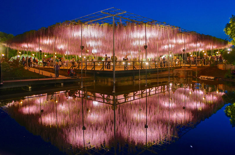 The 100+ Year Old Wisteria at Japan's Ashikaga Flower Park is Incredible