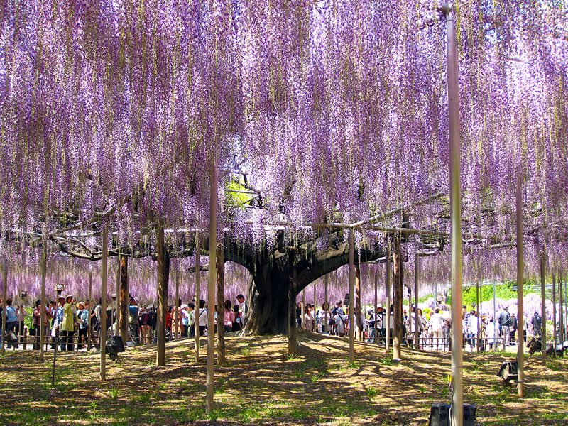 giant wisteria ashikaga flower park japan 9 The 100+ Year Old Wisteria at Japans Ashikaga Flower Park is Incredible