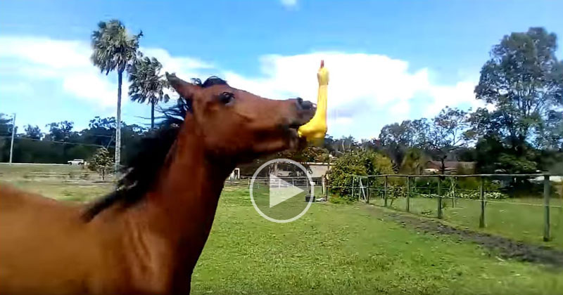 Someone Gave This Horse a Rubber Chicken and We Are All Better Off Because ofIt