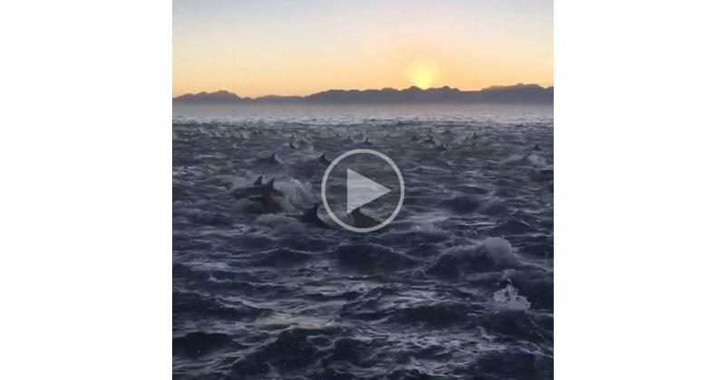 Just a Pod of 2,000 Dolphins Under a Rising Sun