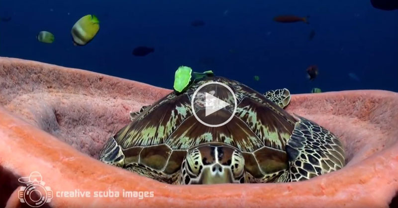 If Light At End Of Tunnel Is Green You >> Tired Turtle Takes Nap Inside Sea Sponge «TwistedSifter