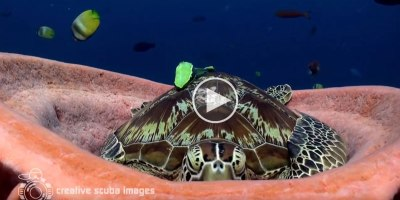 Tired Turtle Takes Nap Inside Sea Sponge