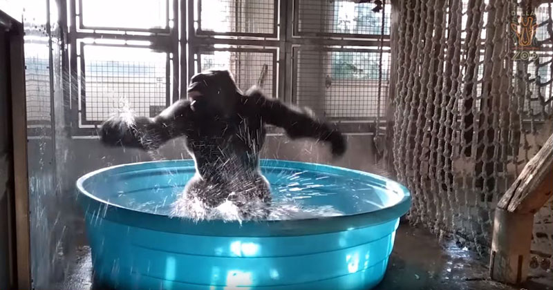 Viral Dancing Gorilla Video Gets the Most Perfect Soundtrack Ever