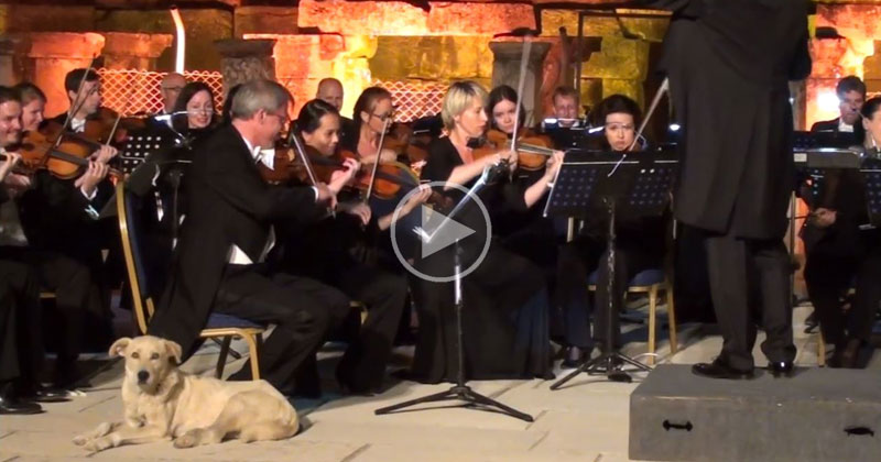 Dog Strolls Onto Stage During Orchestra Performance and Takes a Nap