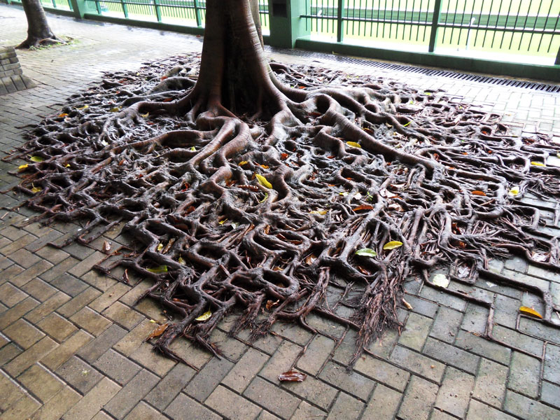 tree growing on pavement in hong kong Picture of the Day: Concrete Roots
