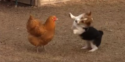 A Corgi and a Chicken Got Into a Play Fight and It's Everything I HopedFor
