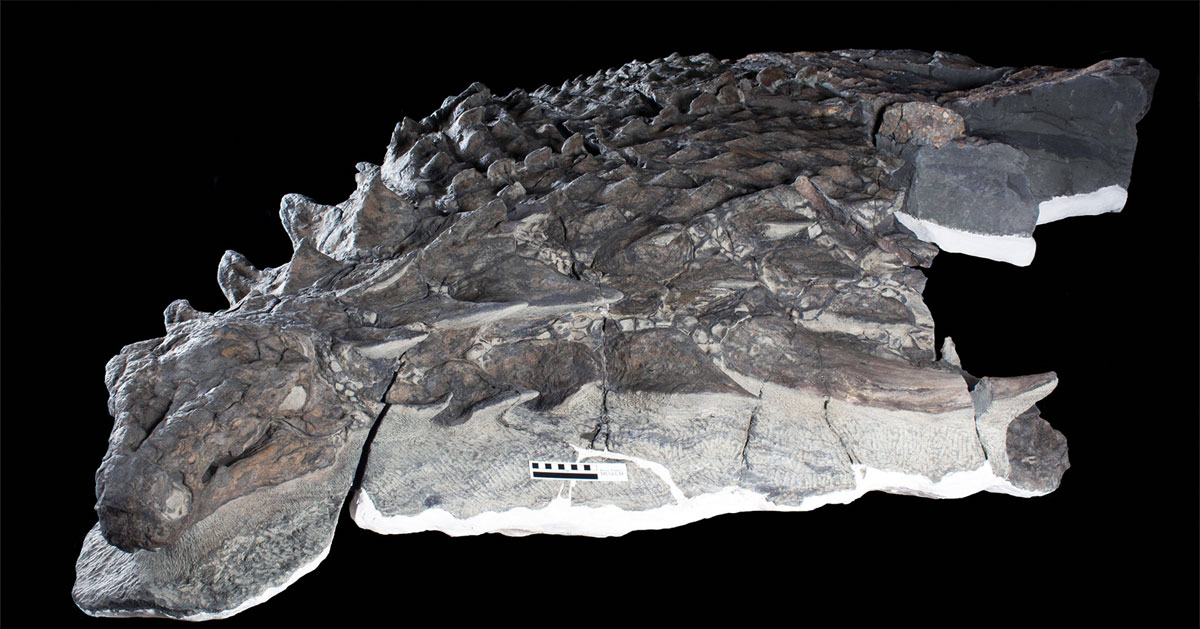 canadian miners found a dinosaur so well preserved it looks like a sculpture 1 Canadian Miners Found a Dinosaur So Well Preserved, It Looks Like a Sculpture