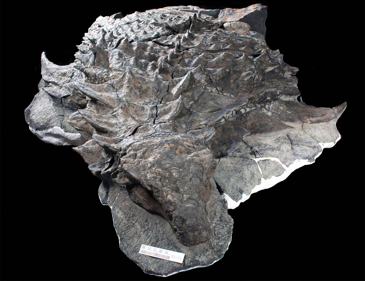 canadian miners found a dinosaur so well preserved it looks like a sculpture 2 Canadian Miners Found a Dinosaur So Well Preserved, It Looks Like a Sculpture