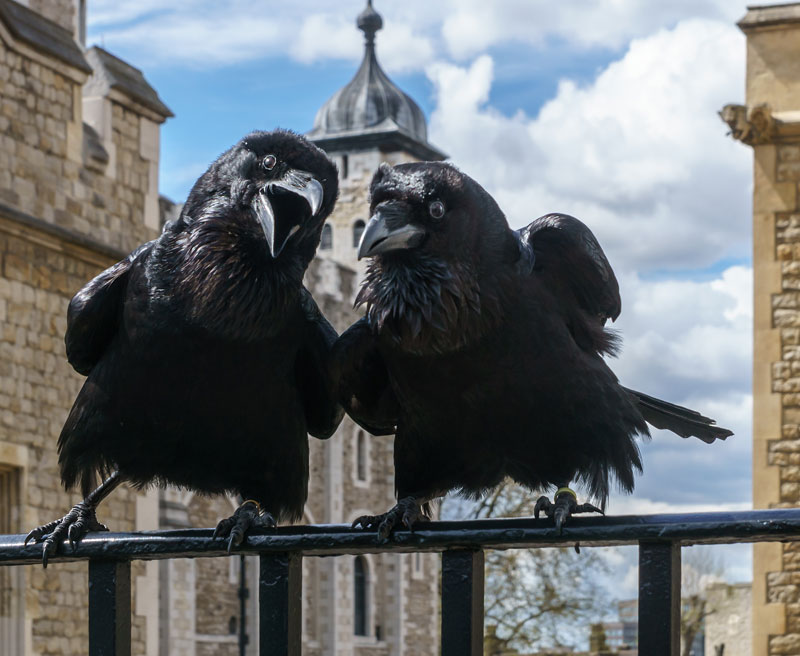 The Ravens of the Tower ofLondon
