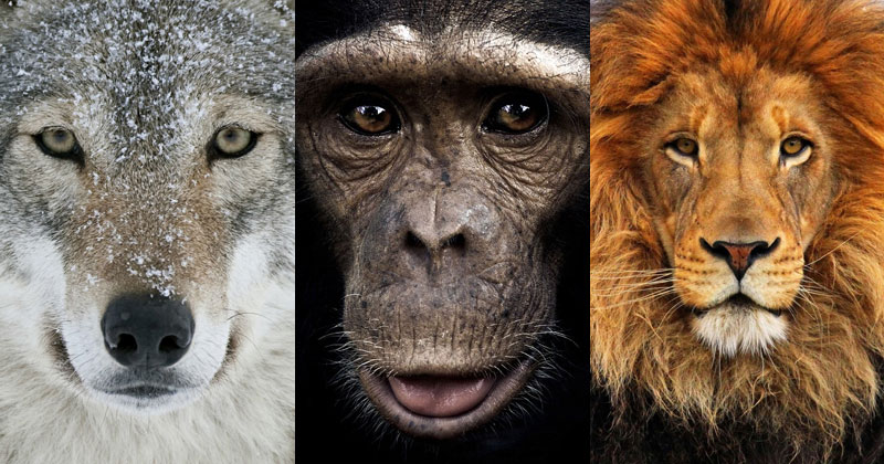 Seeing a Wolf Pack, Lion Pride and Chimp Troop Hunt is Both Impressive and Terrifying