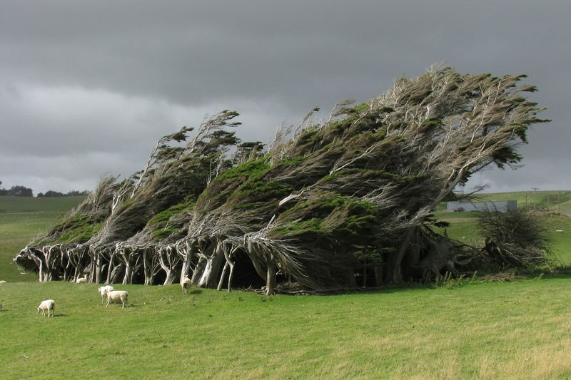windswept trees slope point south island new zealand1 10 Badass Trees That Refuse To Die