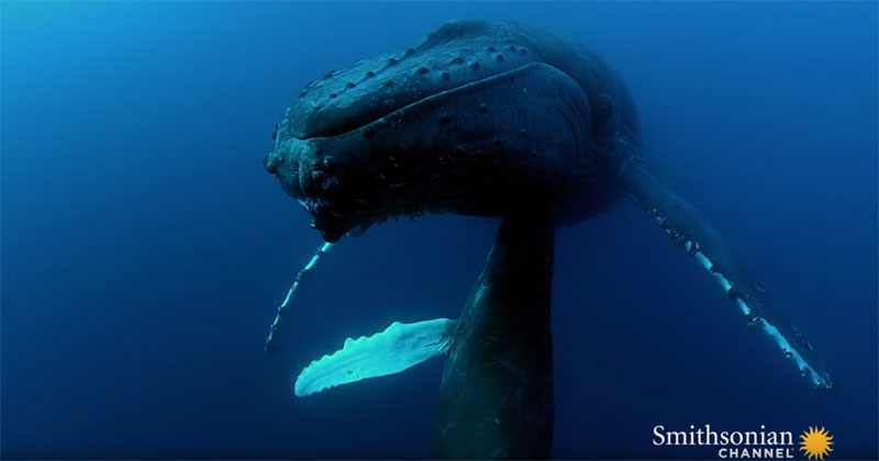 Amazing Underwater Footage of a Nursing Baby Humpback
