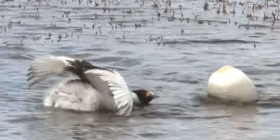 The Mating Dance of the Hooded Grebe was Filmed for the First Time and It's Poetry in Motion