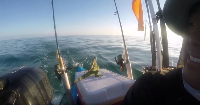 Guy Finds Iguana Swimming 4 Miles Offshore and Brings Him Back toLand