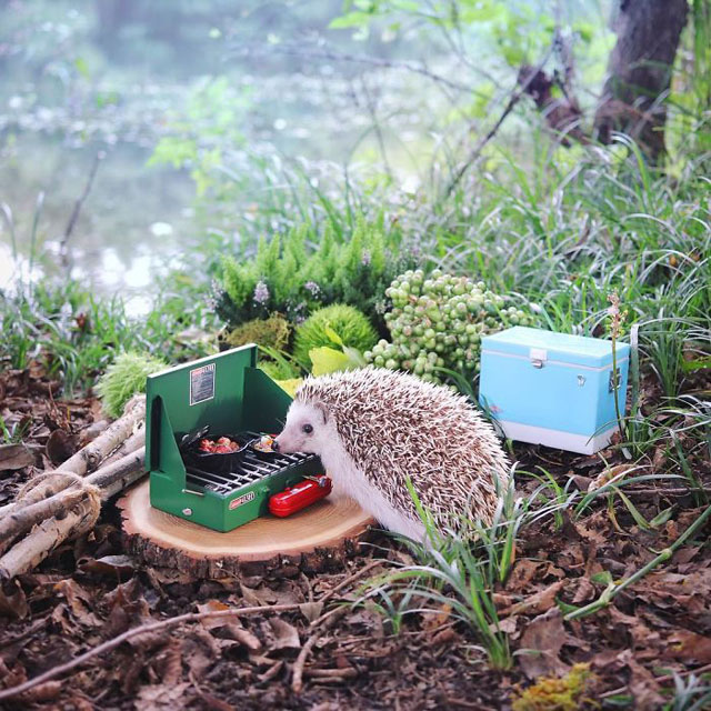 hedgehog azuki goes on camping trip 1 Tiny Japanese Hedgehog Goes on Big Awesome Camping Trip