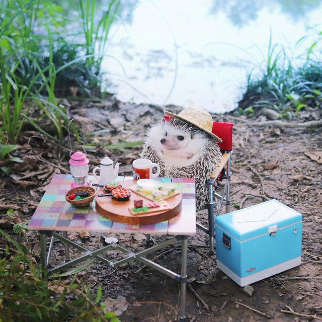 hedgehog azuki goes on camping trip 3 Tiny Japanese Hedgehog Goes on Big Awesome Camping Trip