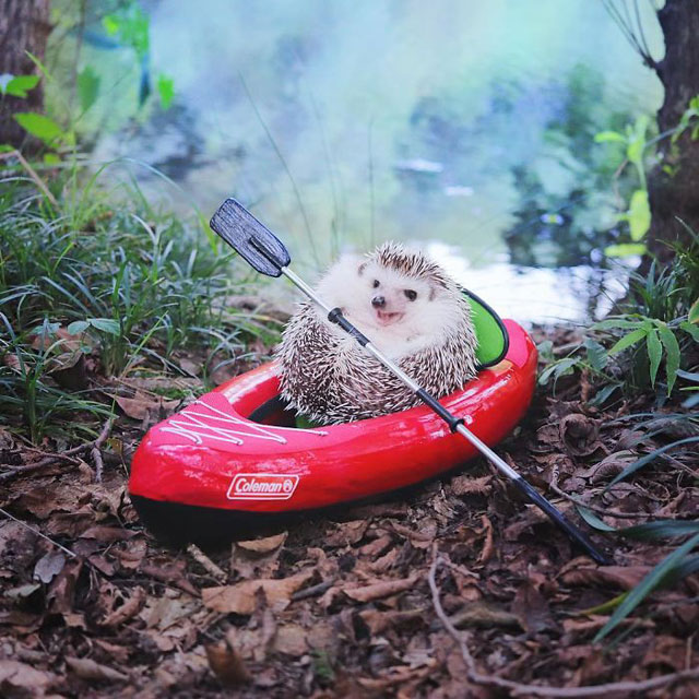 hedgehog azuki goes on camping trip 4 Tiny Japanese Hedgehog Goes on Big Awesome Camping Trip