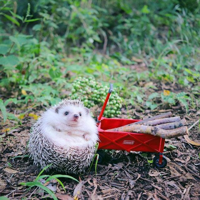 hedgehog azuki goes on camping trip 6 Tiny Japanese Hedgehog Goes on Big Awesome Camping Trip