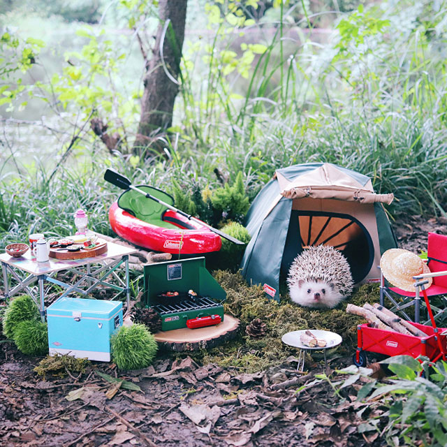 hedgehog azuki goes on camping trip 7 Tiny Japanese Hedgehog Goes on Big Awesome Camping Trip