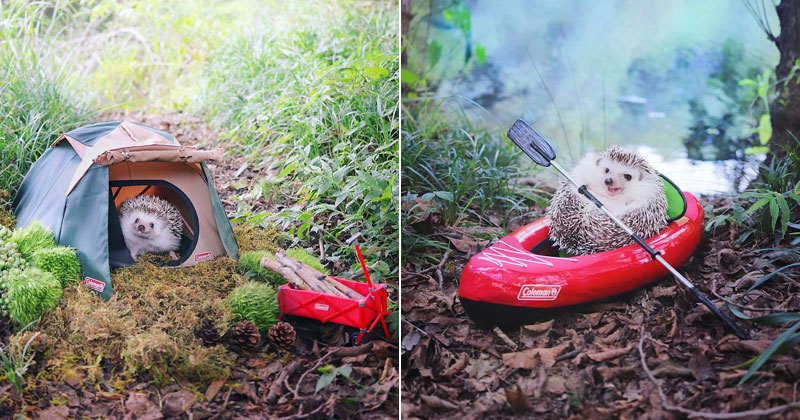 Tiny Japanese Hedgehog Goes on Big Awesome Camping Trip