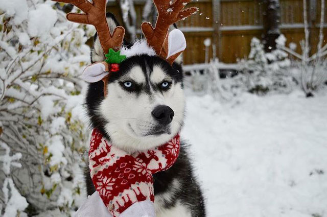 husky wants no part of owners christmas card 2 This Husky Wants No Part of His Owners Christmas Card