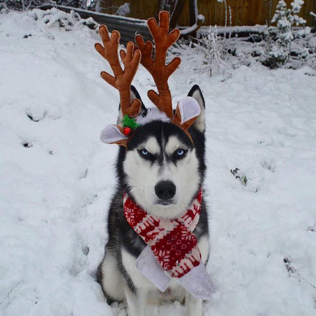 husky wants no part of owners christmas card 3 This Husky Wants No Part of His Owners Christmas Card