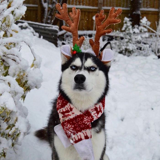 husky wants no part of owners christmas card 4 This Husky Wants No Part of His Owners Christmas Card