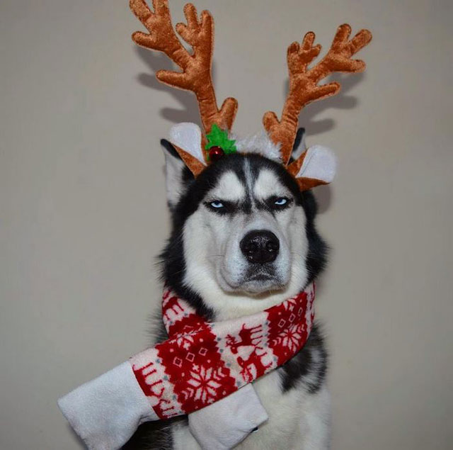 husky wants no part of owners christmas card 6 This Husky Wants No Part of His Owners Christmas Card