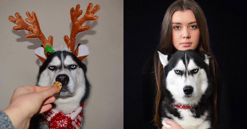 This Husky Wants No Part of His Owners ChristmasCard