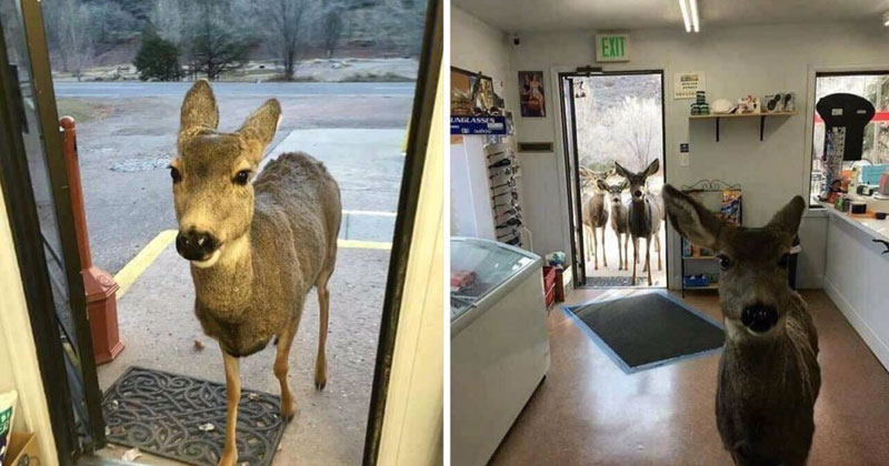 deer comes back to store with entire family Shop Owner Feeds Deer That Wandered In, Deer Comes Back With Entire Family