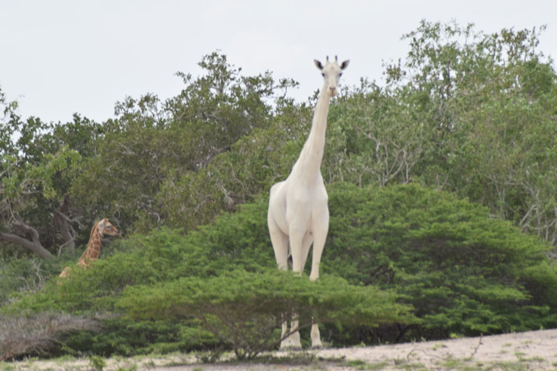 first known video footage of rare white giraffe captured in kenya 1 First Known Video Footage of Rare Snow White Giraffe Captured in Kenya