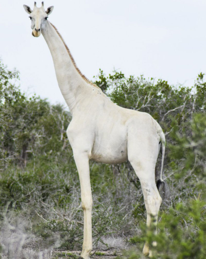 First Known Video Footage Of Rare Snow White Giraffe