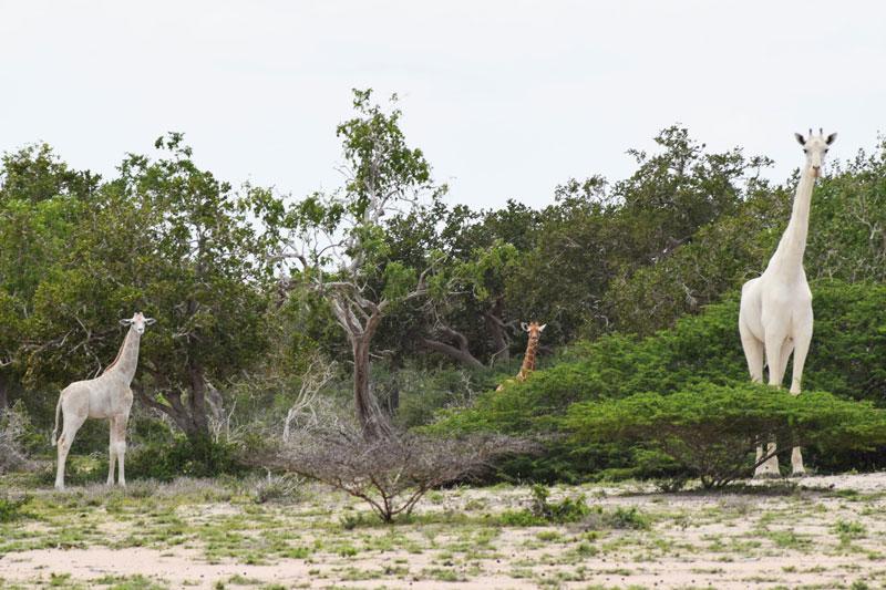 First Known Video Footage of Rare Snow White Giraffe Captured inKenya