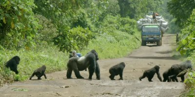 Silverback Gorilla Brings Traffic to Standstill to Let Family Cross [MustWatch]