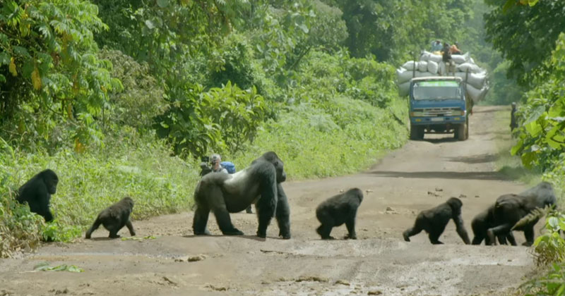Silverback Gorilla Brings Traffic to Standstill to Let Family Cross [Must Watch]