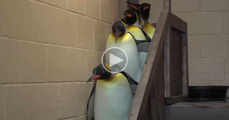Adding the Imperial March to This Random Penguin Video was an ExcellentIdea