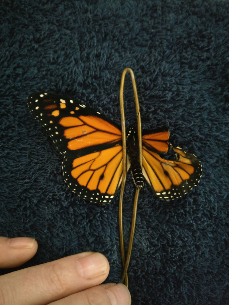 woman gives injured monarch butterfly a wing transplant 3 Woman Gives Injured Monarch Butterfly a Wing Transplant and It Works!