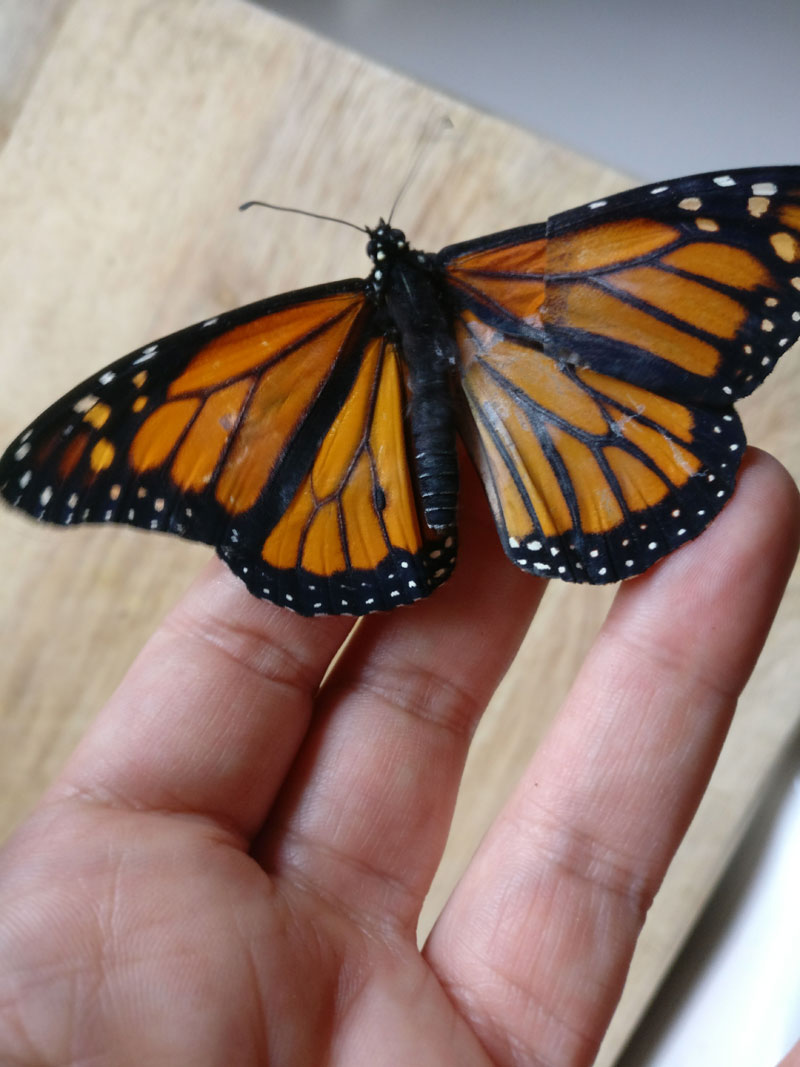 woman gives injured monarch butterfly a wing transplant 4 Woman Gives Injured Monarch Butterfly a Wing Transplant and It Works!