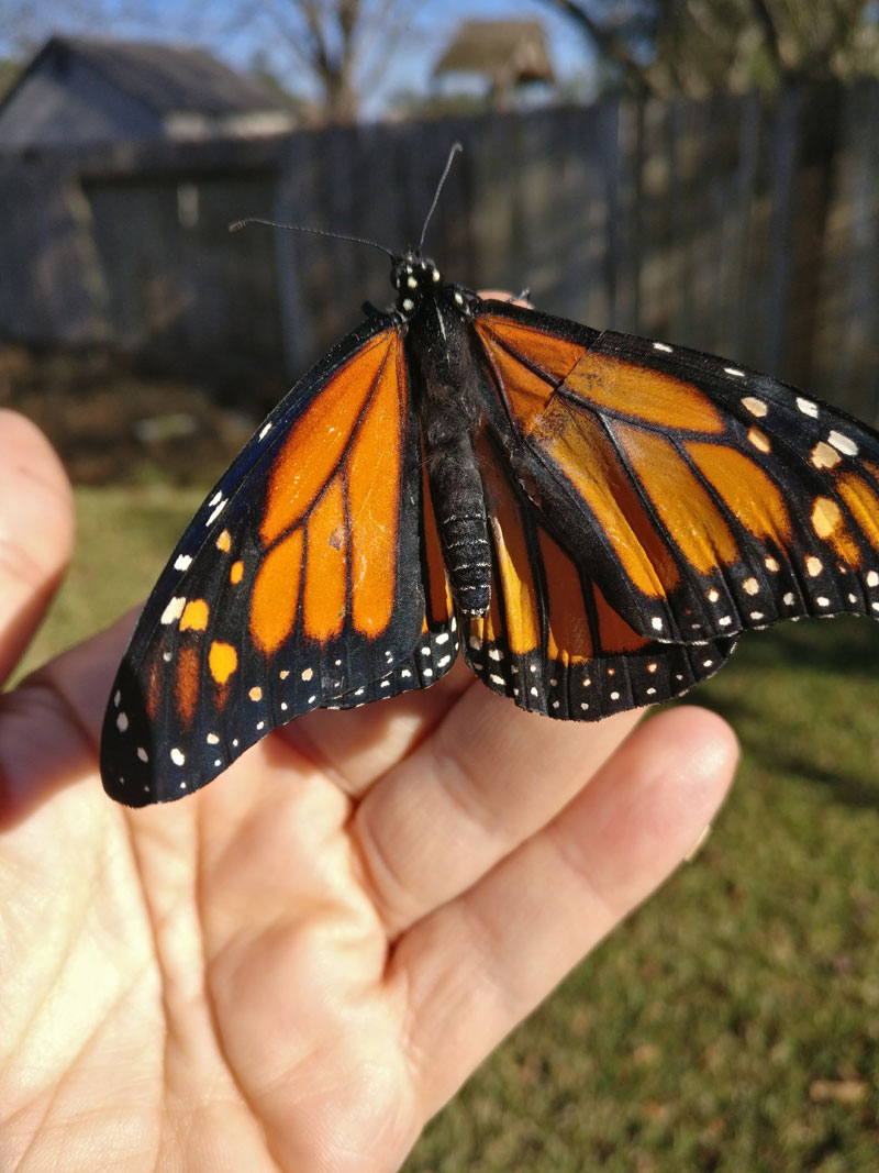 woman gives injured monarch butterfly a wing transplant 5 Woman Gives Injured Monarch Butterfly a Wing Transplant and It Works!