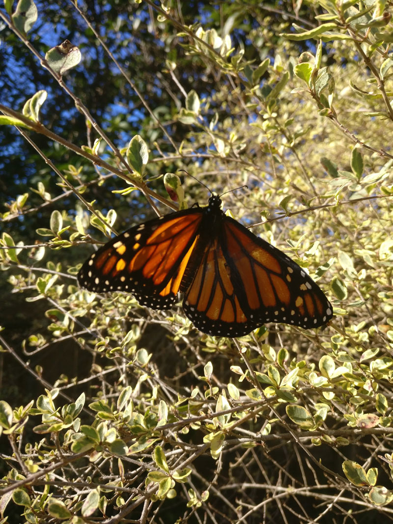woman gives injured monarch butterfly a wing transplant 6 Woman Gives Injured Monarch Butterfly a Wing Transplant and It Works!