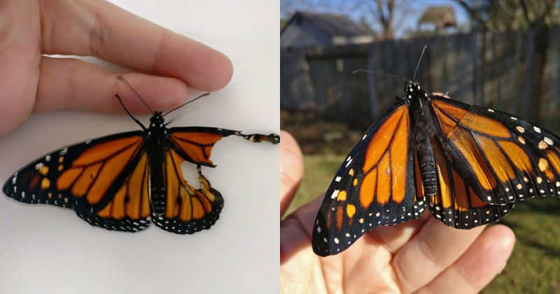 Woman Gives Injured Monarch Butterfly a Wing Transplant and It Works!