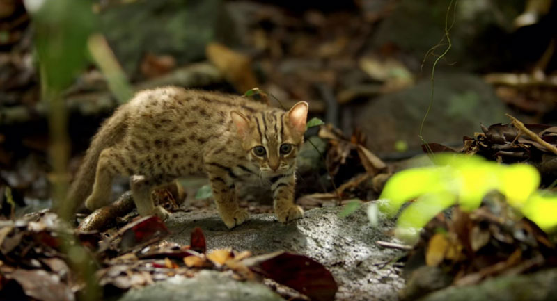 worlds smallest cat 6 The Worlds Smallest Cat is Ridiculously Adorable and there are Photos to Prove It