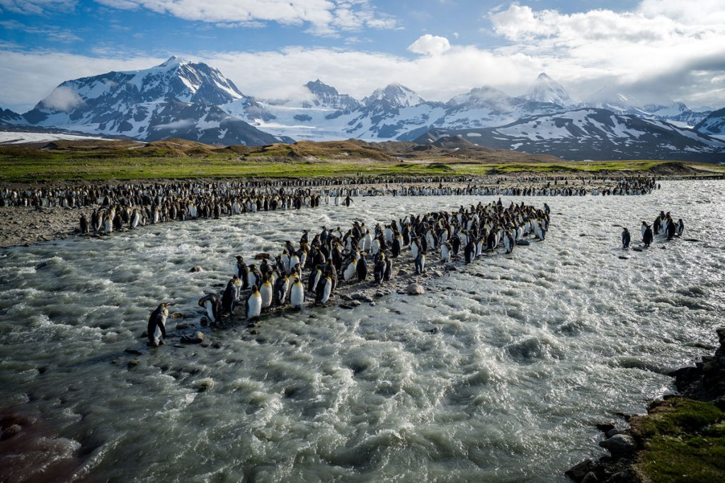 King Penguins on South Georgia Island