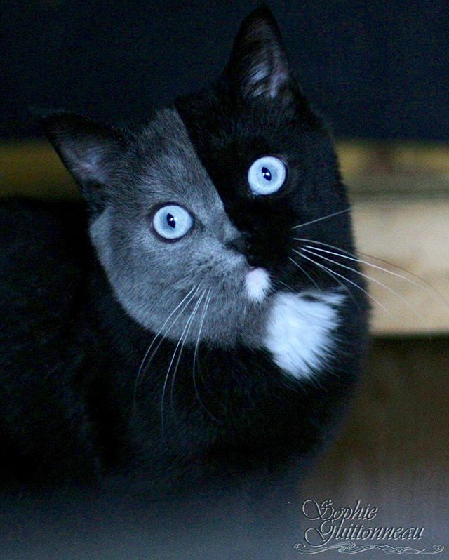 two toned cat narnia stephanie jimenez 10 I Cant Stop Staring at This Two Toned Cat With Blue Eyes (15 Pics)