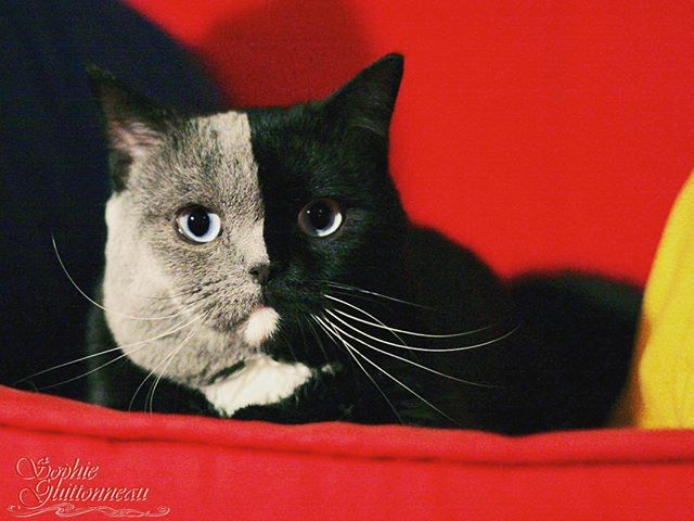 two toned cat narnia stephanie jimenez 13 I Cant Stop Staring at This Two Toned Cat With Blue Eyes (15 Pics)