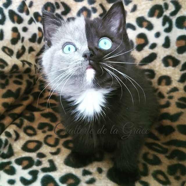 two toned cat narnia stephanie jimenez 2 I Cant Stop Staring at This Two Toned Cat With Blue Eyes (15 Pics)