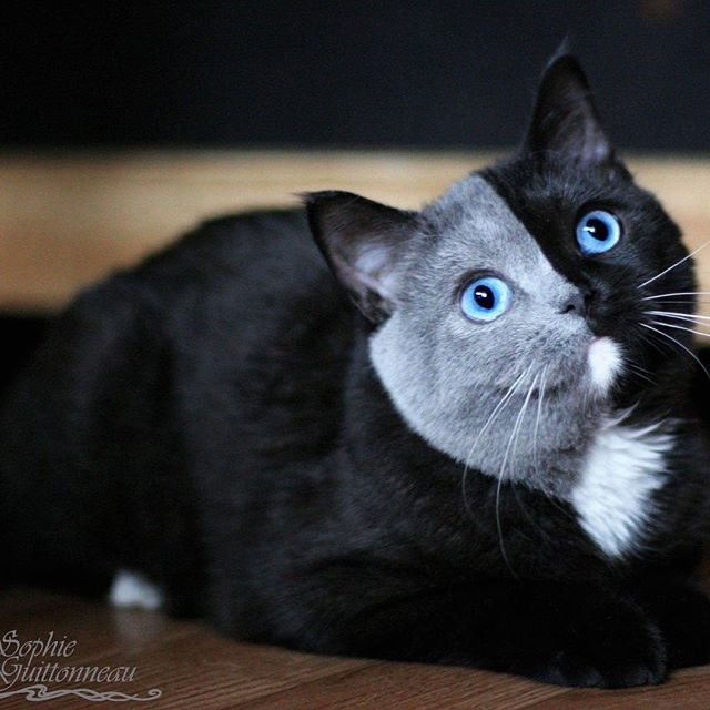 I Can\u0027t Stop Staring at This Two Toned Cat With Blue Eyes (15