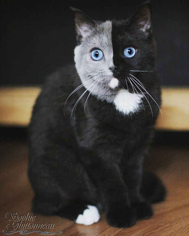 two toned cat narnia stephanie jimenez 8 I Cant Stop Staring at This Two Toned Cat With Blue Eyes (15 Pics)