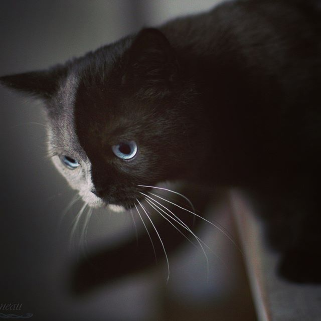 two toned cat narnia stephanie jimenez 9 I Cant Stop Staring at This Two Toned Cat With Blue Eyes (15 Pics)